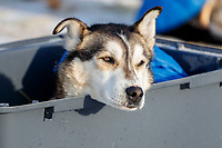 A dog from the Mitch Seavey team rests in the dog lot in Nome after they completed the 2017 Iditarod on Thursday March 16, 2017.<br /> <br /> Photo by Jeff Schultz/SchultzPhoto.com  (C) 2017  ALL RIGHTS RESERVED