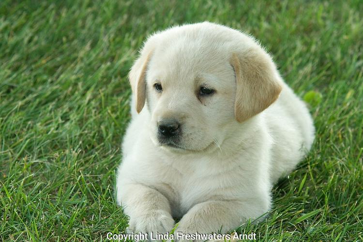 Yellow Labrador retriever (AKC) lying in the grass
