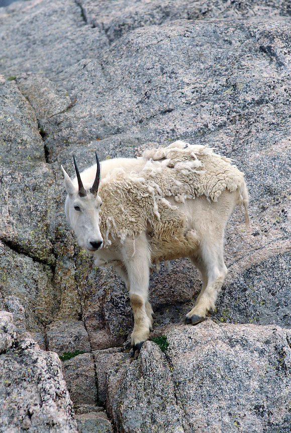 Mountain goat balances on rock,  Mt. Evans, Colorado, USA