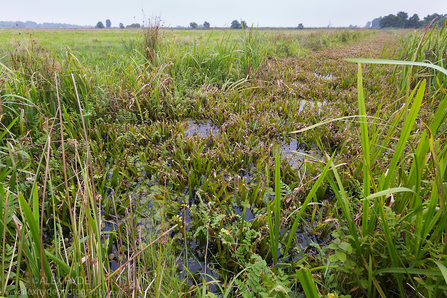 Habitat of the Fen Raft Spider / Great Raft Spider {Dolomedes plantarius}. Norfolk Broads, UK. September.