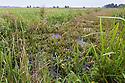 Habitat of the Fen Raft Spider / Great Raft Spider {Dolomedes plantarius}. Norfolk Broads, UK. September.