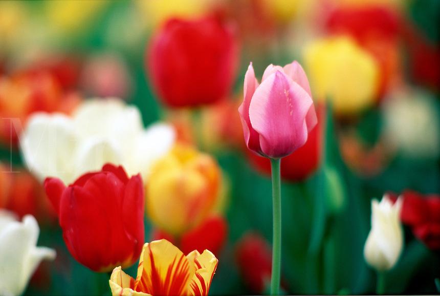 Tulips #6096.