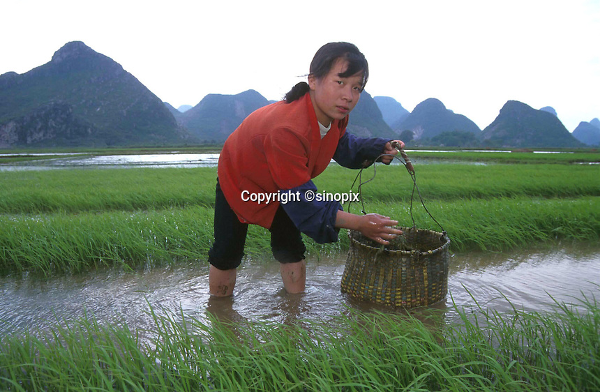 RICE PADDY: GUILIN, CHINA<br /> A woman works in a  rice paddy near Guilin, China. China's rice industry is threatened by increasing foreign imports following China's accession to the WTO. <br /> Photo by Richard Jones/SinopixChina<br /> ©sinopix
