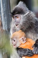 Borneo Macque and Golden Baby
