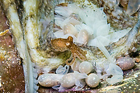 Southern Keeled Octopus, Octopus berrima, a mother octopus agitates her eggs with her arms which causes the eggs to hatch. Some of the eggs show a small crack at the top which means the babies are ready to pop out, Pt Hughes, South Australia, Australia, Southern Ocean