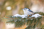 White-breasted nuthatch perched in a snow-covered spruce tree.