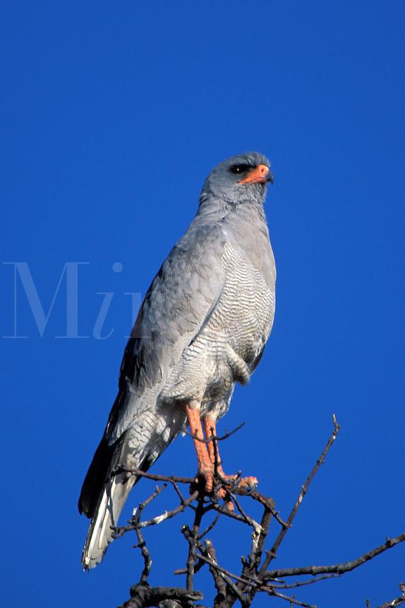 Pale Chanting Goshawk, Melierax canorus, Namibia, Africa