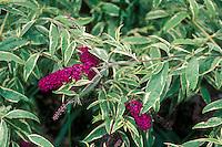 Buddleja davidii Masquerade variegated Buddleia Butterfly Bush