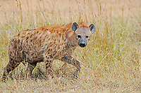 Spotted hyena (Crocuta crocuta), adult, Maasai Mara National Reserve, Kenya, Africa