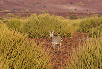 Zebra amongst the Euphorbia of Damaraland