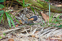 Rufous Fantail, Lacey Creek, Queensland, Australia