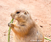 0721-1111  Black-tailed Prairie Dog Eating Prairie Grass, Cynomys ludovicianus  © David Kuhn/Dwight Kuhn Photography