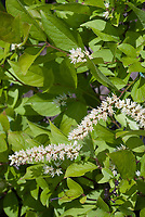 Itea virginica Virginia Sweetspire in bloom in June