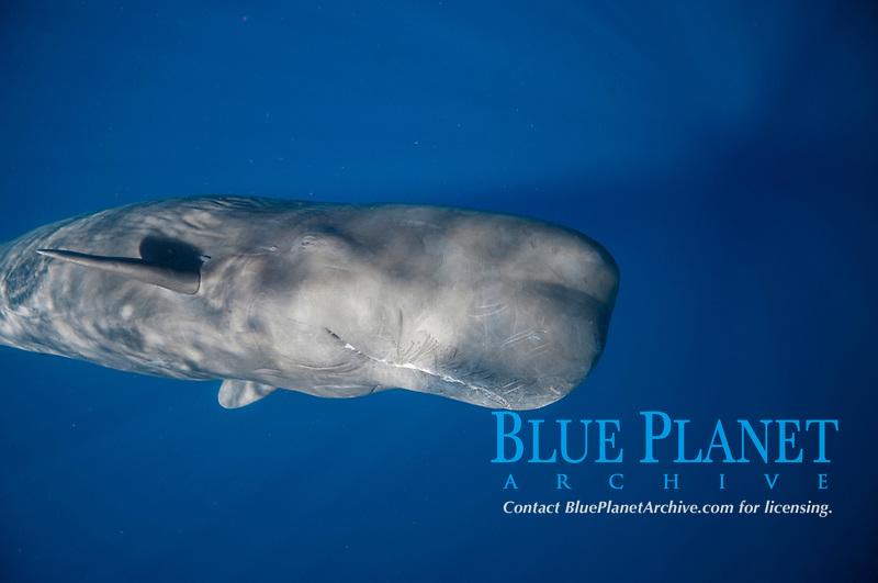 sperm whale, Physeter macrocephalus, Dominica, Caribbean Sea, Atlantic Ocean