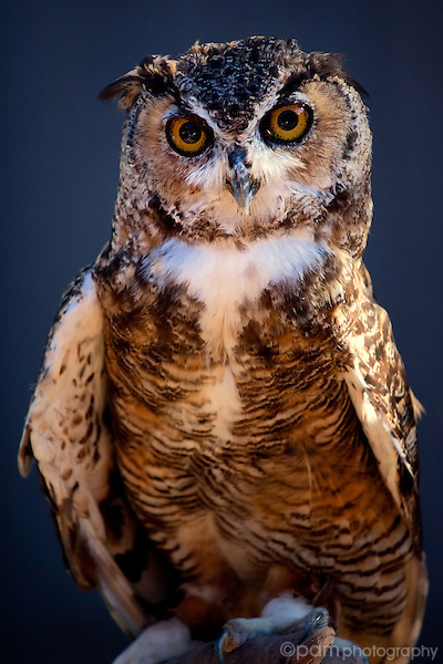 Big horn owl, full length