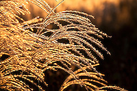 Backlit flower head of Miscanthus sinensis 'Malepartus' in Chicago Botanic Garden