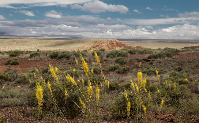 Prince;s Plume blloms in the spring in the Northern Arizona desert.