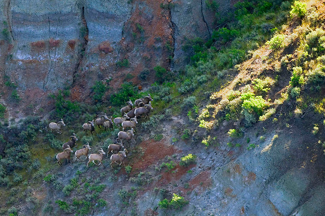 Big Horn Sheep at Missouri Breaks