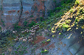 Big Horn Sheep at Missouri Breaks