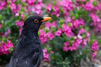 Eurasian Blackbird (Turdus merula merula), adult male foraging in Queens Park, Invercargill, Southland, New Zealand.