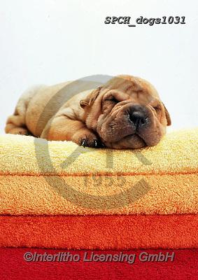Xavier, ANIMALS, REALISTISCHE TIERE, ANIMALES REALISTICOS, dogs, photos+++++,SPCHDOGS1031,#a#, EVERYDAY