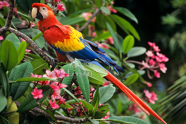 Scarlet Macaw (Ara macao), Mexico south to Brazil