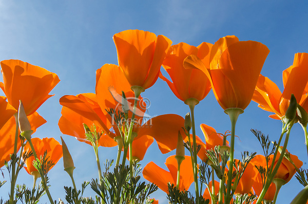California poppies near the Antelope Valley California Poppy Reserve.  March.