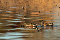 Northern Shovelers, Anas clypeata, at Colusa National Wildlife Refuge, California