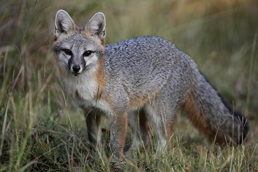 Gray Fox very early one morning in shade, getting a drink of water. The Central Texas Hill Country is home to many remarkable creatures, but none are more intriguing than the gray fox.<br /> The Gray Fox is adaptable, usually more wary than fearful, and quite handsome. It may be difficult to appreciate the coloration of this fox until you see her for yourself. With a mostly gray back and reddish sides, she has a white throat with beautiful red markings. To top it off, the middle of the back is usually black and she sports a magnificent, long, bushy tail with a black tip.