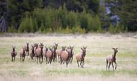 A small herd of elk runs through a meadow.