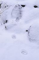Katze, Hauskatze, Haus-Katze, Trittsiegel, Spur, Pfotenabdrücke im Schnee, Felis silvestris catus, domestic cat, housecat