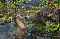 Northern River Otter (Lontra canadensis) family--mother with two pups--on grass covered log along edge of lake.  Western U.S., summer..