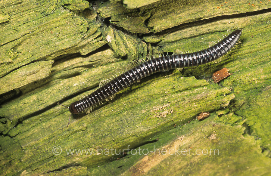 Weißbeiniger Tausendfüßer, Weißbeiniger Tausendfüßler, Schwarzer Schnurfüßer, Tachypodoiulus niger, white-legged snake millipede, black millipede