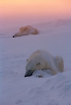 Two snow-covered polar bears sleep near each other in Wapusk National Park, Manitoba, Canada.