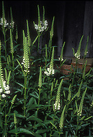 Obedient Plant white flowers of Physostegia virginiana 'Miss Manners'