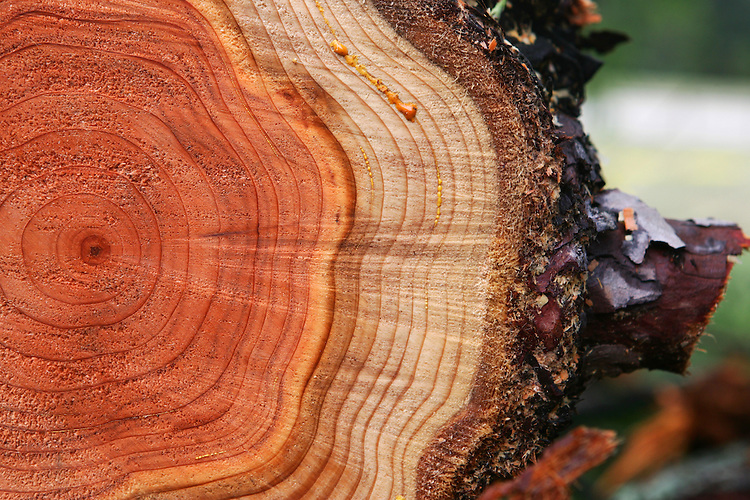 January 9, 2008; Santa Cruz, CA, USA; A detailed view of the rings of a recently cut redwood tree in Santa Cruz, CA. Photo by: Phillip Carter