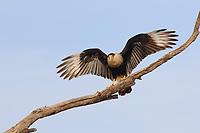 Adult Crested Caracara (Caracara cheriway). (Caracara cheriway). Hidalgo County, Texas. March.