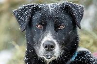 A returned dog from the Charlie Bejna team waits at the Rainy Pass checkpoint on Puntilla Lake during the 2019 Iditarod on Tuesday, March 5th 2019.<br /> <br /> Photo by Jeff Schultz/  (C) 2019  ALL RIGHTS RESERVED