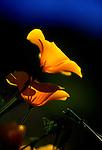 Poppies on South Hill, San Luis Obispo, CA