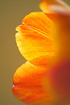 a shallow focus, closeup detail shot of the backlit petals of a tulip blossom highlighting the brushstrokes brush-like strokes of the orange and yellow petals.