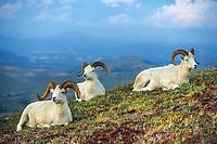Dall sheep rams rest on the tundra in Denali National Park, Alaska