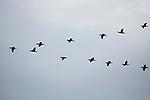 Indian Cormorant (Phalacrocorax fuscicollis) flock flying, Diyasaru Park, Colombo, Sri Lanka