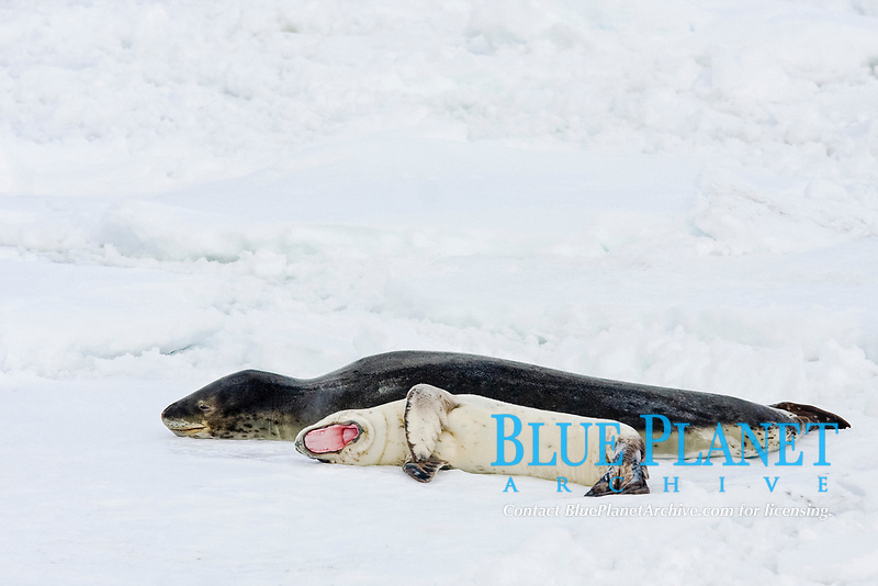 A mother and newborn pup leopard seal (Hydrurga leptonyx) hauled out on ice floes on the western side of the Antarctic peninsula, southern Ocean This is the only pinniped known to have attacked and killed a human snorkeler in Antarctica.