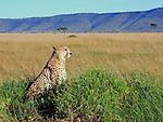 Cheetah at sunrise, Maasai Mara