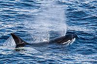 killer whale or orca, Orcinus orca, Type A killer whale, Gerlache Strait, Antarctica, Southern Ocean