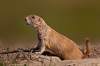 Black-tailed Prairie Dog peeking out of its burrow