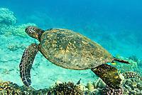 Green Sea Turtles, Hawaiian; Chelonia mydas