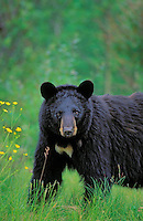 Black Bear..Summer. Near Lake Superior..(Ursus americanus).