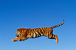 Leaping bengal tiger (captive)