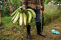 ARMENIA - COLOMBIA, 26-05-2021: Octavio Millán sostiene un racimo de plátano que acaba de cortar con su machete en la finca La Máquina, ubicada en el municipio de Montenegro, Quindío. A más de un mes del inicio del Paro Nacional, los campesinos han tenido que reinventar la forma para mantener sus cultivos y criaderos activos para minimizar las pérdidas por los bloqueos que aún se mantienen en las vías. Según cifras del Ministerio de Hacienda, las pérdidas diarias están en un monto de $480.000 millones de pesos colombianos, lo cual sumando la totalidad de los días del Paro Nacional, suman un total de $10,8 billones de pesos colombianos. / Octavio Millán holds a bunch of bananas that he has just cut with his machete at La Máquina farm, located in the municipality of Montenegro, Quindío. More than a month after the beginning of the National Strike, farmers have had to reinvent the way to keep their crops and farms active in order to minimize losses due to the blockades that still remain on the roads. According to figures from the Ministry of Finance, daily losses are in the amount of $480,000 million Colombian pesos, which adding the total number of days of the National Strike, add up to a total of $10.8 billion Colombian pesos. Photo: VizzorImage / Santiago Castro / Cont